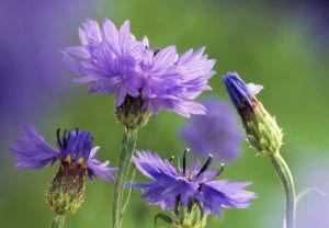 Centaurea cyanus by Fiona Lea