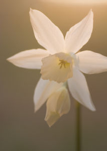 Narcissus by Fiona Lea