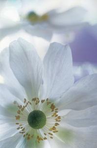 Anemone by Grace Carlon