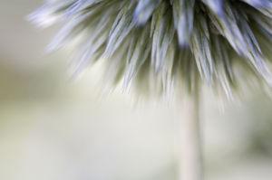 Echinops by Michael Peuckert