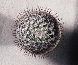 Mammillaria microhelia by Raul Gonzalez