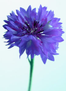 Centaurea cyanus, Cornflower by Clive Holmes Ltd