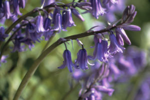Hyacinthoides hispanica, Bluebell - Spanish bluebell by Ashton