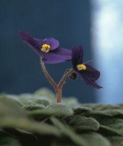 Saintpaulia, African violet by Bjanka Kadic