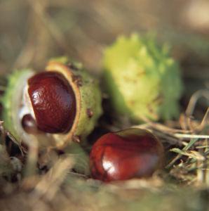 Aesculus hippocastanum, Horse chestnut conker by Bjanka Kadic