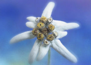 Leontopodium alpinum, Edelweiss by Rosemary Calvert