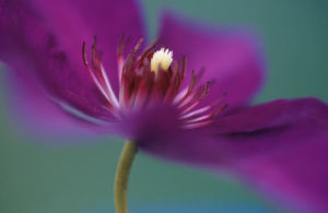 Clematis 'The President', Clematis by Rosemary Calvert