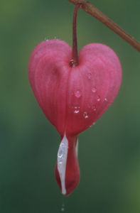 Dicentra spectabilis, Bleeding heart by Rosemary Calvert