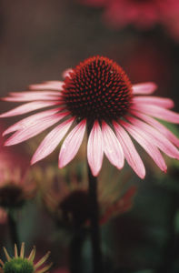 Echinacea purpurea 'Rubinstern' Purple coneflower by Rosemary Calvert