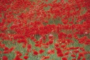 Papaver rhoeas, Poppy field by Rosemary Calvert