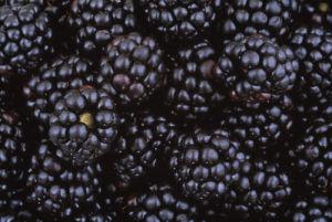 Rubus ulmifolius, Blackberry by Rosemary Calvert