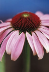 Echinacea purpurea, Purple coneflower by Carl Pendle