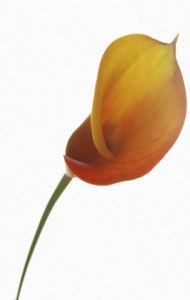 Zantedeschia, Arum lily, Calla lily by Carl Pendle