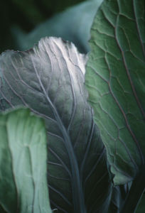 Brassica oleracea, Cabbage by Carl Pendle