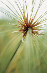Cyperus papyrus, Papyrus by Carl Pendle
