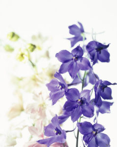 Delphinium, Delphinium by Carol Sharp