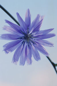 Cichorium intybus, Chicory by Carol Sharp