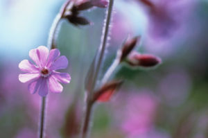 Silene dioica, Campion - red by Carol Sharp