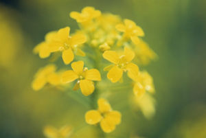 Brassica nigra, Mustard - Black mustard by Carol Sharp