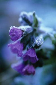 Pulmonaria officinalis, Lungwort by Carol Sharp