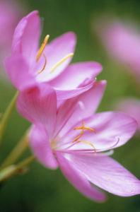 Schizostylis coccinea, Kaffir lily by Carol Sharp