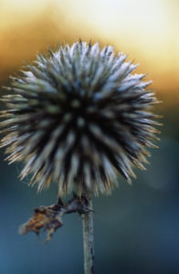 Echinops ritro, Globe thistle by Carol Sharp