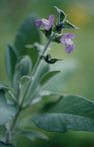 Salvia officinalis, Sage by Carol Sharp