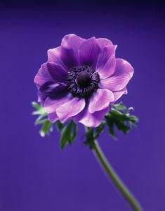 Anemone coronaria 'Lord Lieutenant', Anemone by Carol Sharp