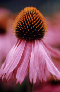 Echinacea purpurea 'Rubinstern' Purple coneflower by Carol Sharp