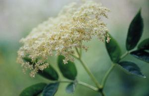 Sambucus nigra, Elder by Carol Sharp
