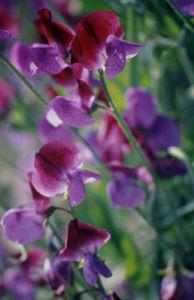 Lathyrus odoratus, Sweet pea by Carol Sharp