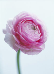 Ranunculus, Ranunculus by Carol Sharp