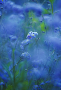 Myosotis, Forget-me-not by Carol Sharp