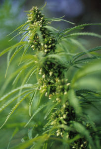 Cannabis sativum,  Hemp by Carol Sharp