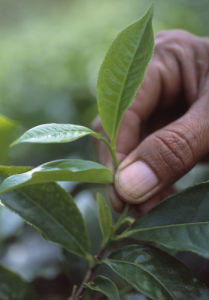 Camellia sinensis, Tea plant by Carol Sharp