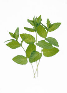 Mentha spicata, Mint - Spearmint by Carol Sharp