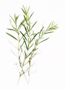 Rosemarinus officinalis, Rosemary by Carol Sharp