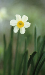 Narcissus, Daffodil by Carol Sharp