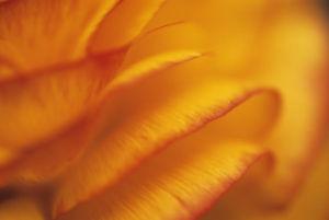 Ranunculus, Ranunculus by Carol Sharp