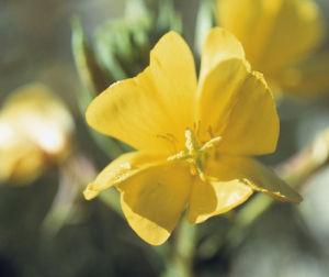 Oenothera biennis, Evening primrose by Carol Sharp