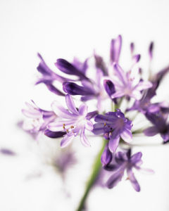 Agapanthus, Agapanthus by Carol Sharp
