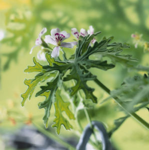 Pelargonium graveolens - Scented geranium by Carol Sharp