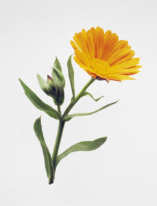 Calendula officinalis, Marigold by Carol Sharp