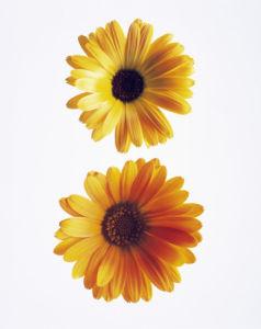 Calendula officinalis, Marigold by Carol Sharp
