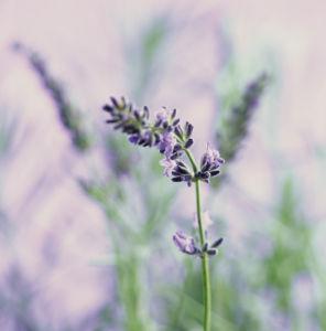 Lavandula augustifolia, Lavender by Carol Sharp