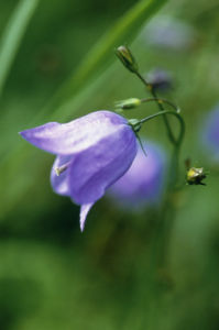 Campanula rotundifolia, Harebell by Carol Sharp