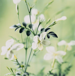 Jasminum, Jasmine by Carol Sharp