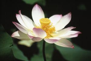 Nelumbo nucifera, Lotus - Sacred lotus by Carol Sharp