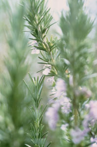Rosmarinus officinalis, Rosemary by Carol Sharp