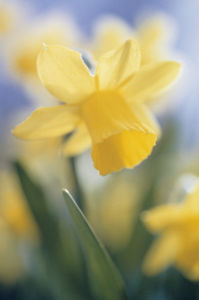 Narcissus 'Tete-a-Tete', Daffodil by Carol Sharp